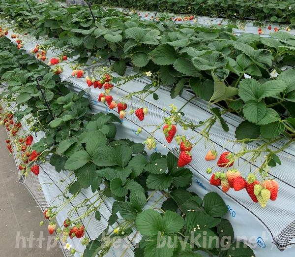 千疋いちご園の苺